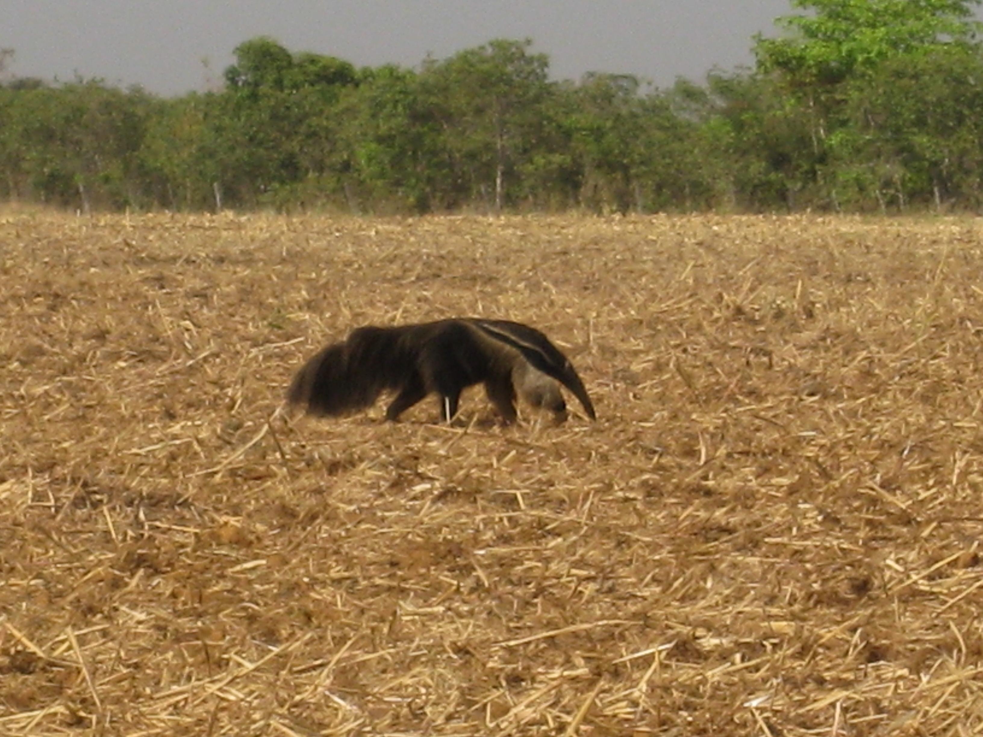 anteater_fullsize